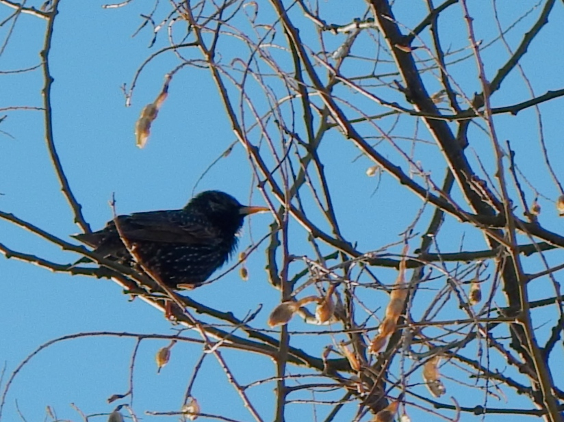 European Starling and Asian Sophora japonica: