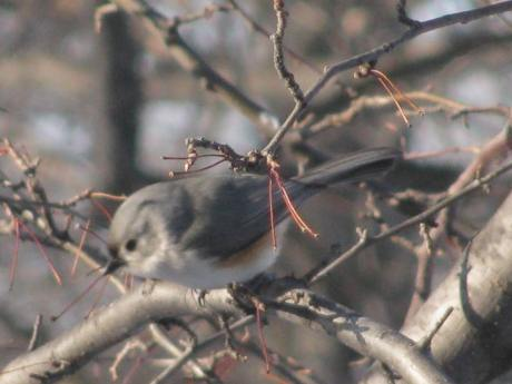 Tufter Titmouse