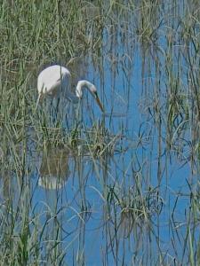 Egret hunts