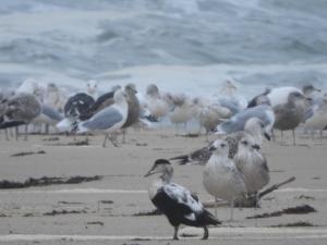 eider walks among gulls, Photo by Rebecca Arnoldi