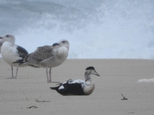 Eider duck sits by gulls. Photo by Rebecca Arnoldi