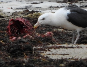 Black backed Gull eats remains of seal carcass