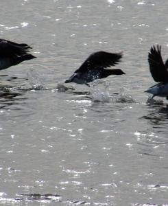 Brant in flight over water